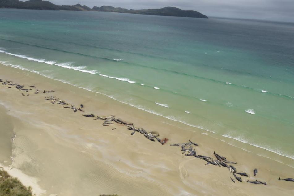Bis zu 145 Grindwale sind am Wochenende auf der neuseeländischen Insel Stewart Island gestrandet und dabei ums Leben gekommen.