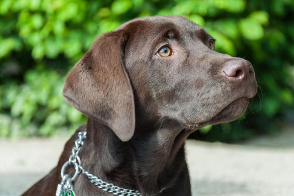 Ein brauner Labrador, wie dieser, fiel der Frau zum Opfer (Symbolbild).