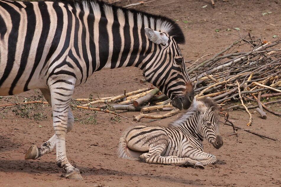 Zebra-Mutter Zyta mit ihrem Fohlen Django.