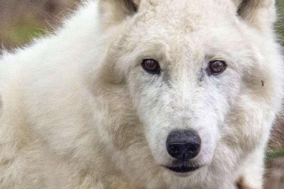 """Wildpark Hanau trauert: Polarwolf """"Scott"""" von jahrelangem Leiden erlöst"""