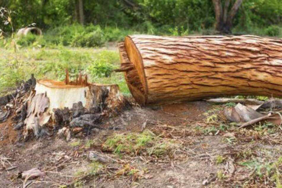 Im Fallen traf der Baum die Ehefrau des 55-Jährigen. (Symbolbild)