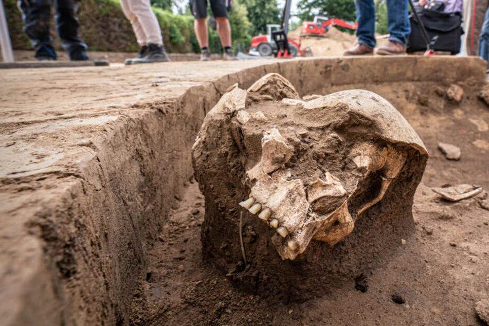 Menschlicher Steinzeit-Schädel auf Baustelle gefunden! Doch eine Sache gibt Rätsel auf