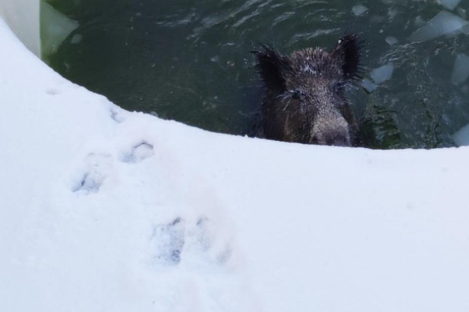 Lebensgefahr: Wildschwein kracht durch Pool-Eisdecke!