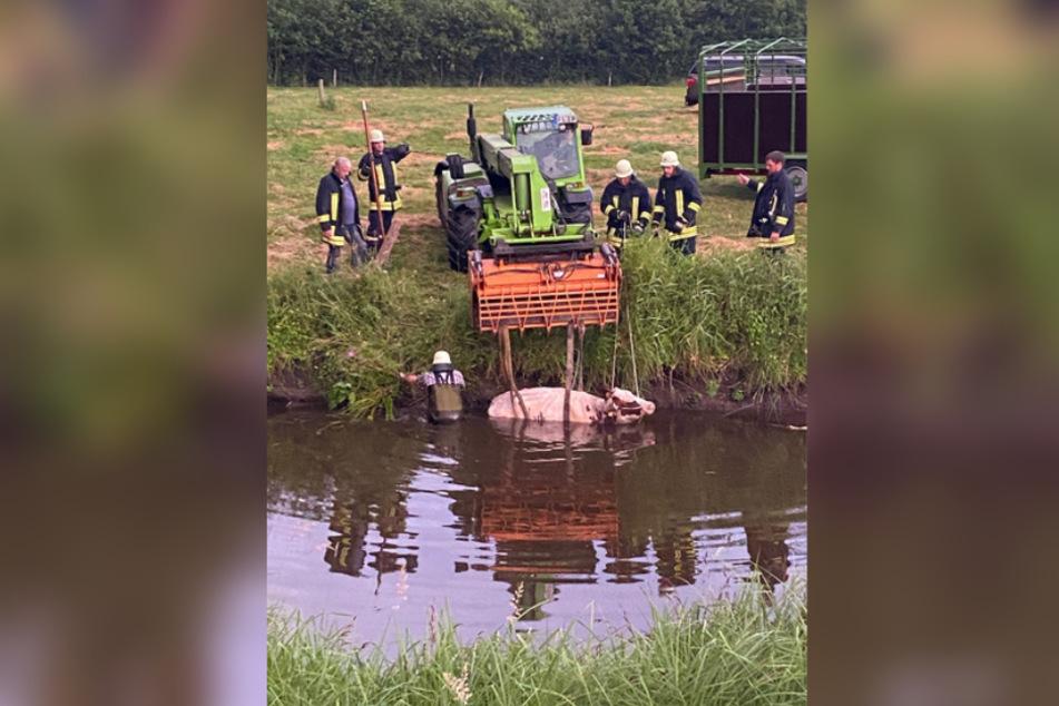 Feuerwehrleute ziehen die Kuh mit Spezialgerät aus dem Wasser.