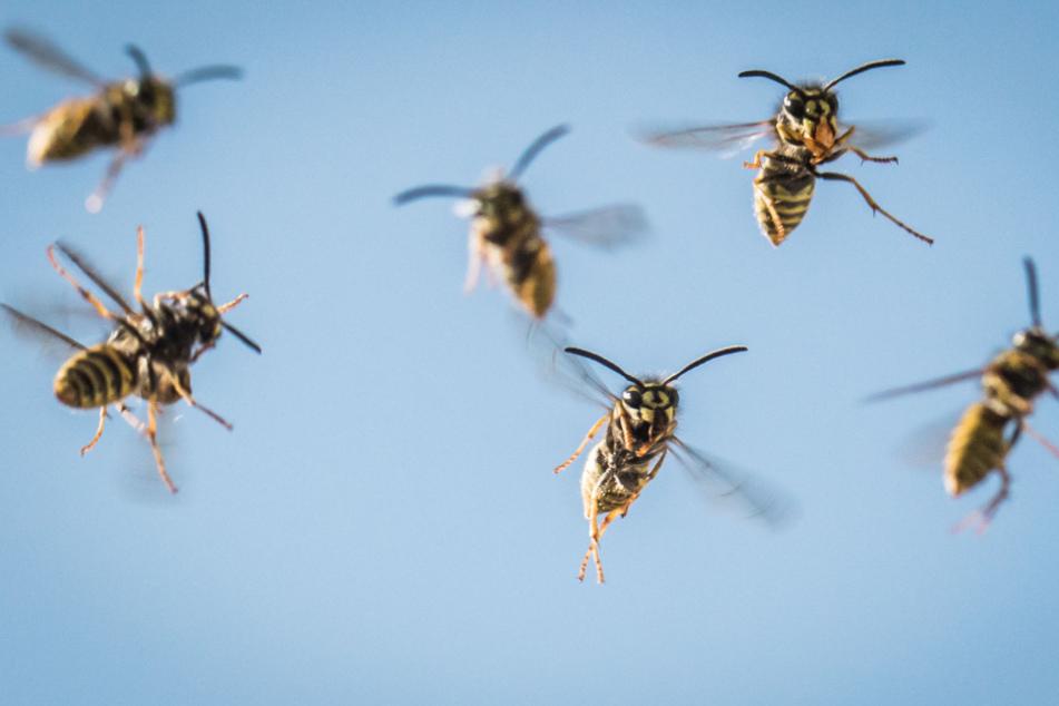 Bedeutet der milde Frühling eine Wespen-Plage? Das erwarten Experten