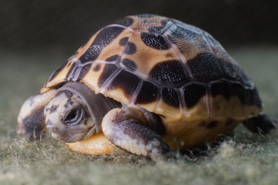 Diese Mini-Schildkröten sind vom Aussterben bedroht.