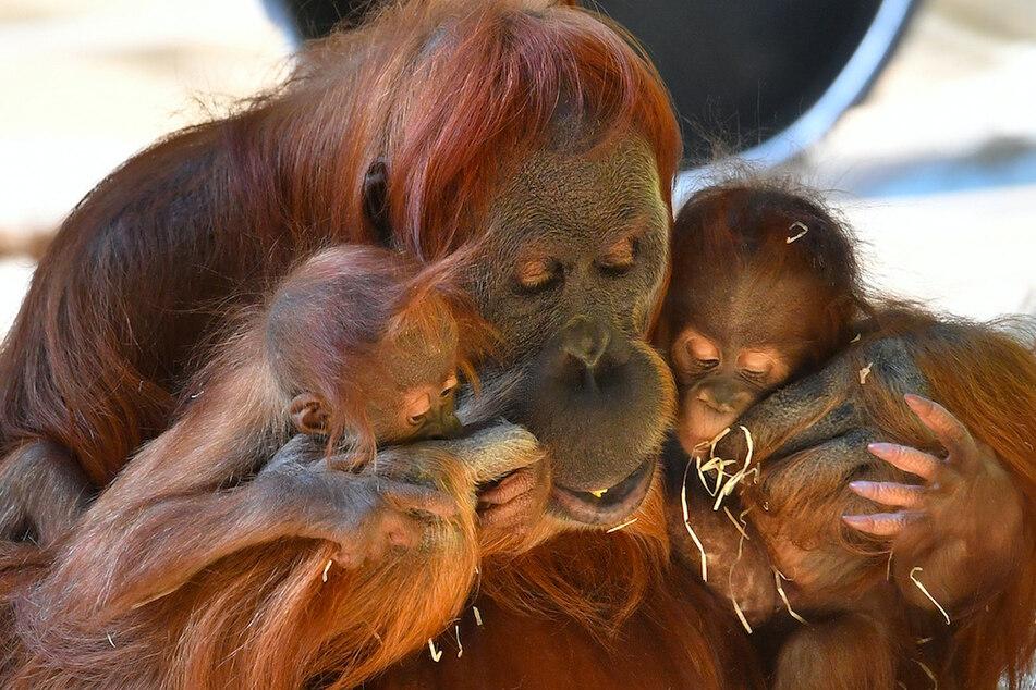 München: Tierpark trauert um Matra: Orang-Utan-Weibchen stirbt mit 44 Jahren