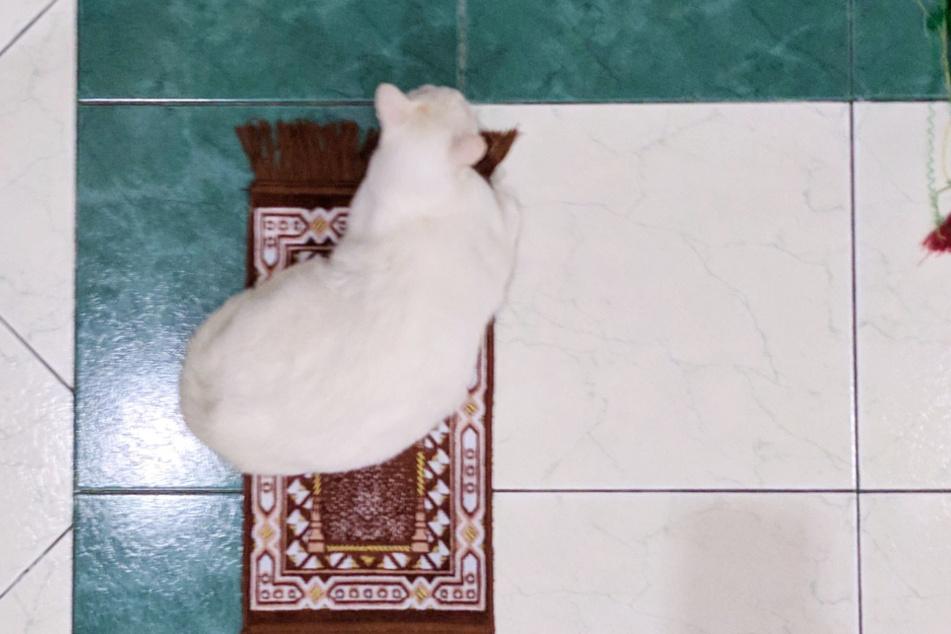 Zur Gebetszeit liegt Tofu auf ihrem eigenen Teppich.