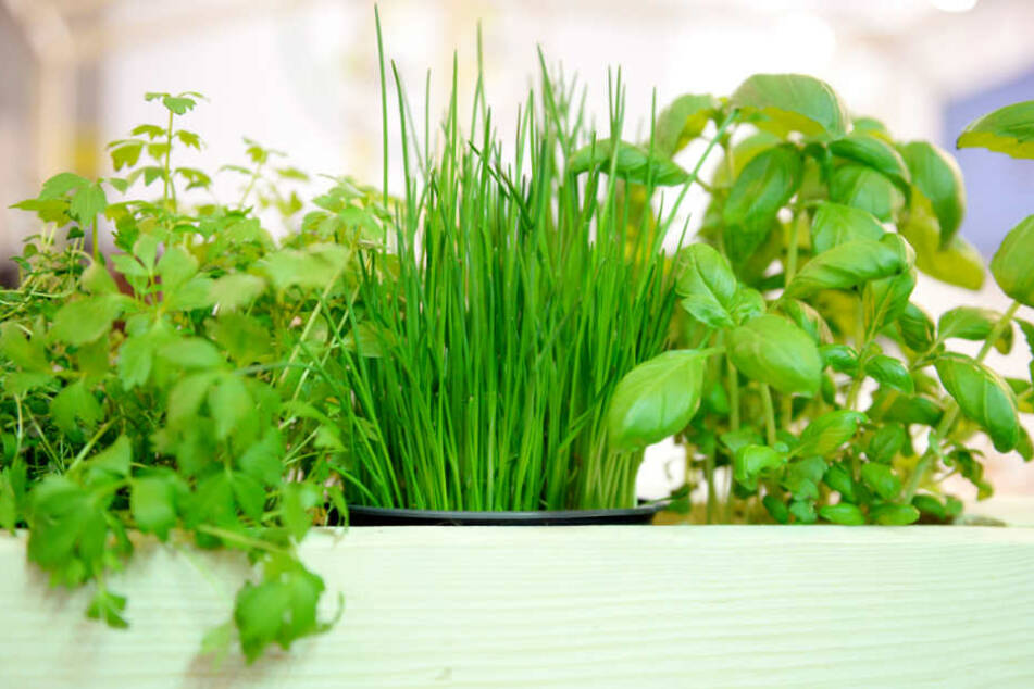 Saftig grün und voll im Geschmack: So wünscht sich vermutlich jeder seine frischen Kräuter aus dem Topf.