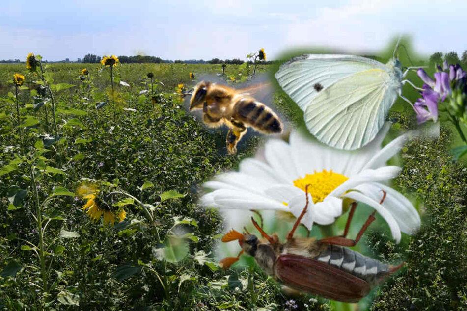 Auf den Blumenwiesen sollen Bienen, Schmetterlinge und andere Insekten neuen Lebensraum finden.
