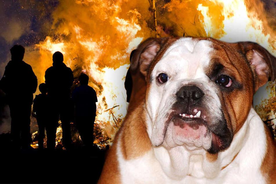 Freilaufende Bulldogge greift bei Hexenbrennen Menschen an: Zwei Verletzte
