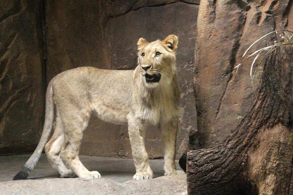 Wird Raubkatze Kigali mit dem Löwen anbändeln?