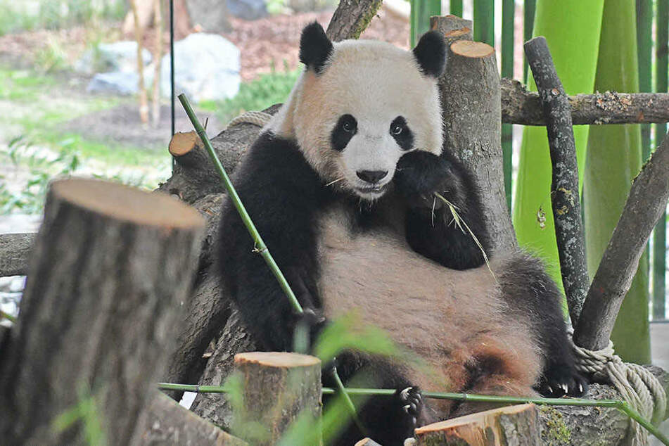 Geburtstag im Berliner Zoo | Panda Meng Meng wird vier Jahre alt