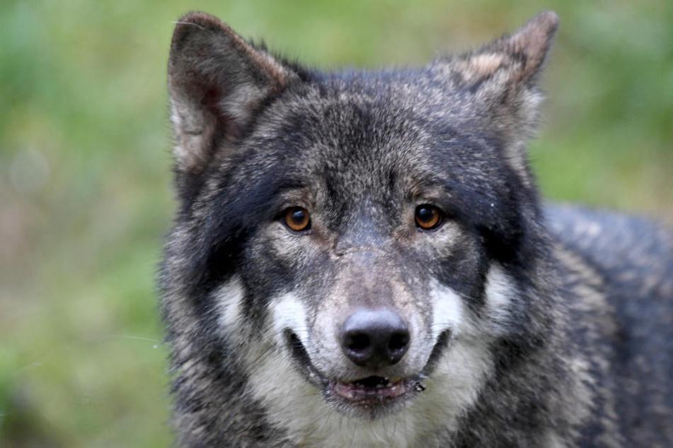 Der Wolf wurde offenbar nicht schwer verletzt (Symbolfoto).
