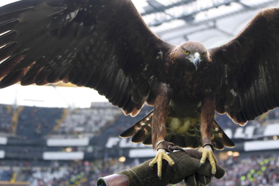 Steinadler Attila ist bei jedem Heimspiel von Eintracht Frankfurt mit dabei.