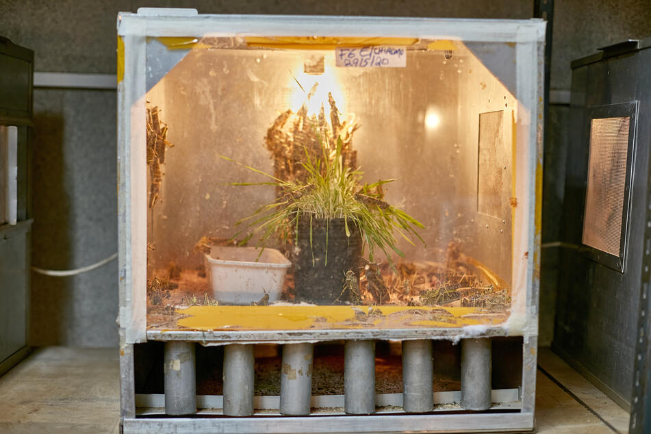 Locusts are bred in cages like this.