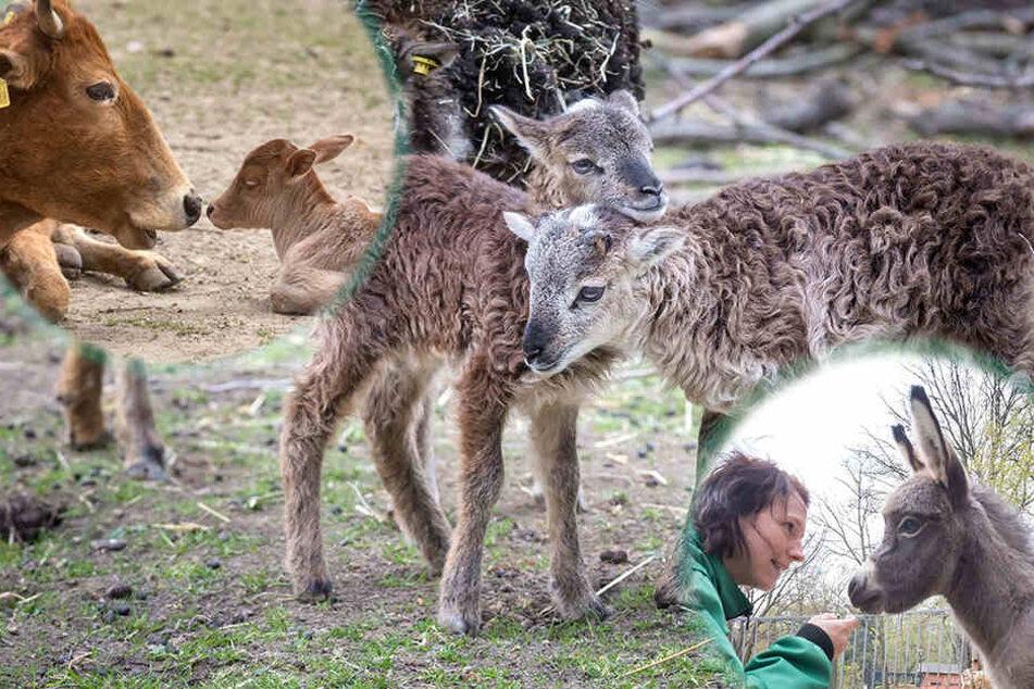 Vier auf einem Streich: Baby-Boom im Amerika-Tierpark