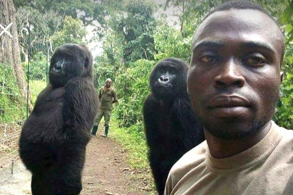 Was für ein Foto! Ranger posiert mit mannshohen Gorillas