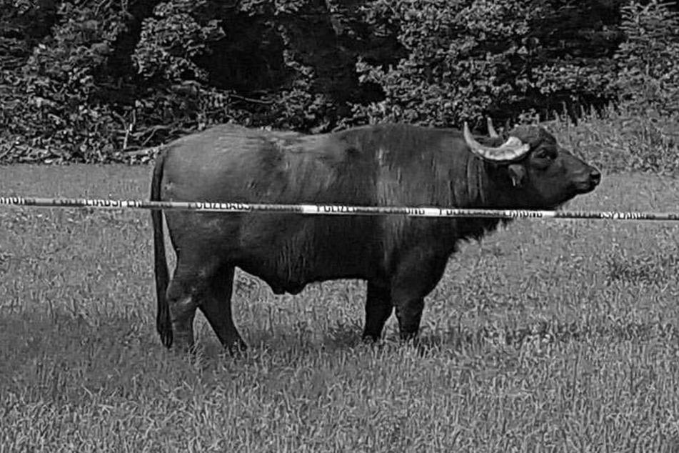 Die nervenaufreibende Flucht am Sonntag war zu viel für ihn. Am Montag wurde Wasserbüffel Obi von seinen Leiden erlöst.