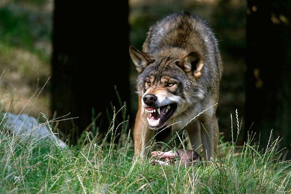 Aggressiv gegenüber dem Menschen werden wilde Wölfe eigentlich nur, wenn sie ihre Beute verteidigen.