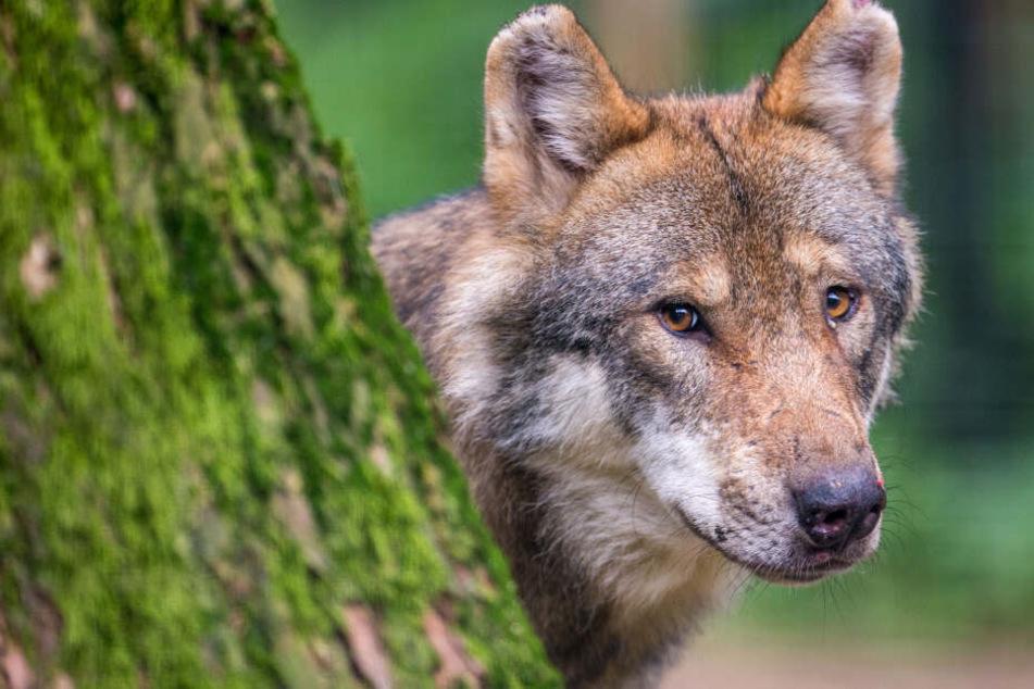 Wölfe sorgen in Bayern immer wieder für Unmut, wenn sie den Viehherden zu nahe kommen. (Symbolbild)