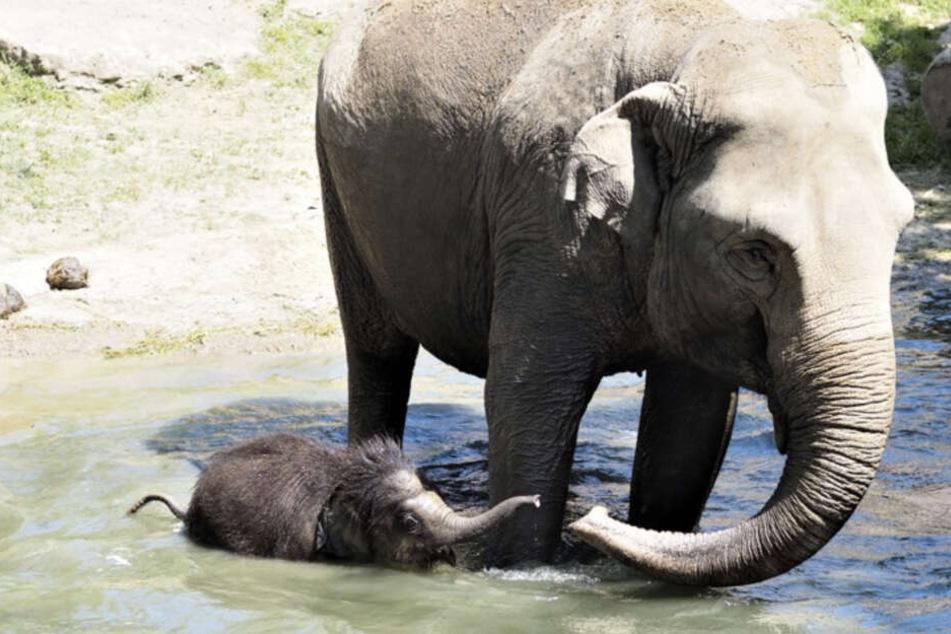 Der kleine Elefant sucht die Erfrischung im kühlen Pool.