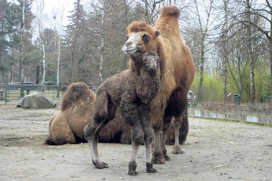Im Tierpark Weißwasser freuen sich die Kamele Hannes und Tina über Baby Nummer vier.