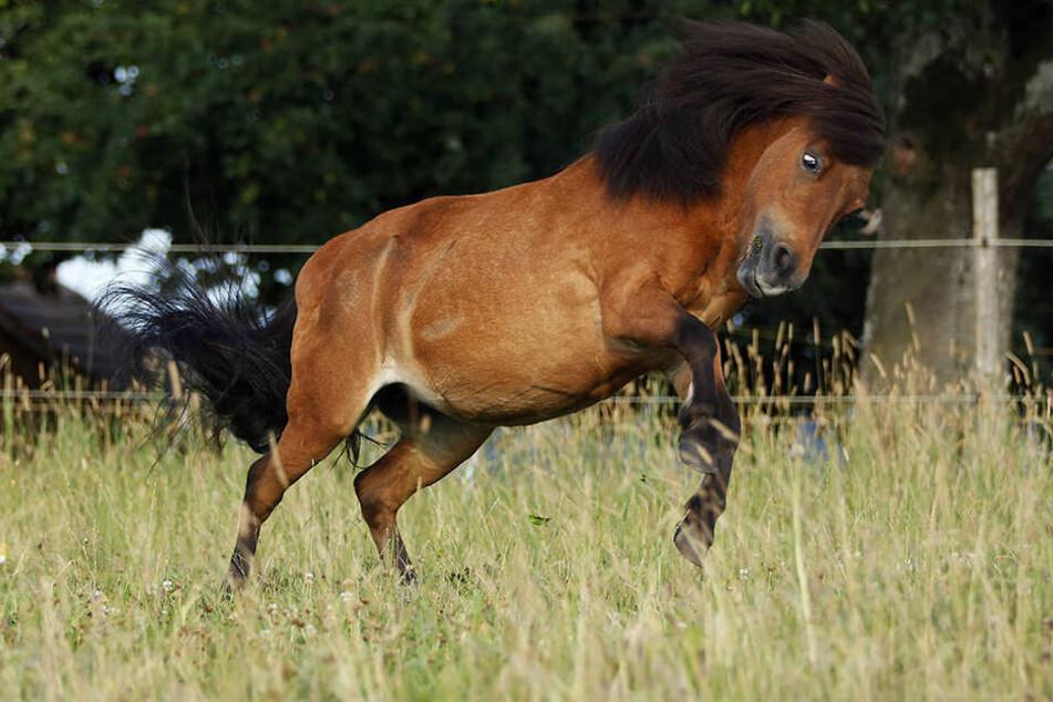 In Dortmund soll ein Mann ein Pony vergewaltigt haben. (Symbolbild)