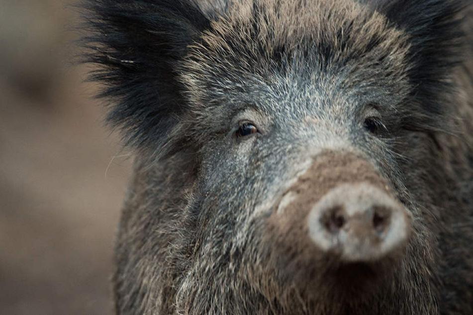 Wegen der Afrikanischen Schweinepest sind die Jäger alarmiert.