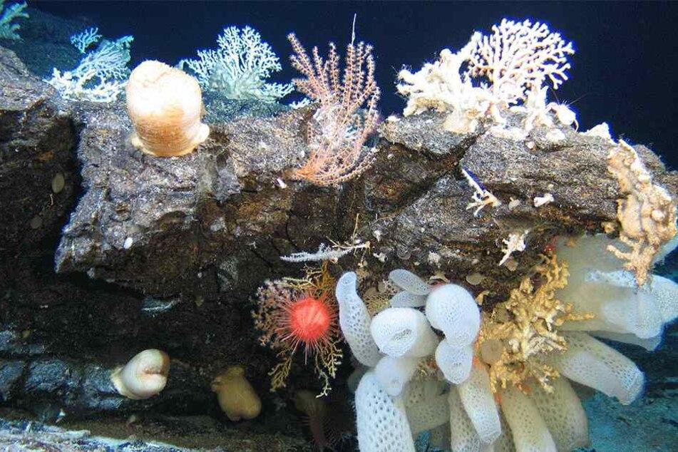 Die Korallen setzten bei der Reinigung ein tödliches Gift ab (Symbolbild).