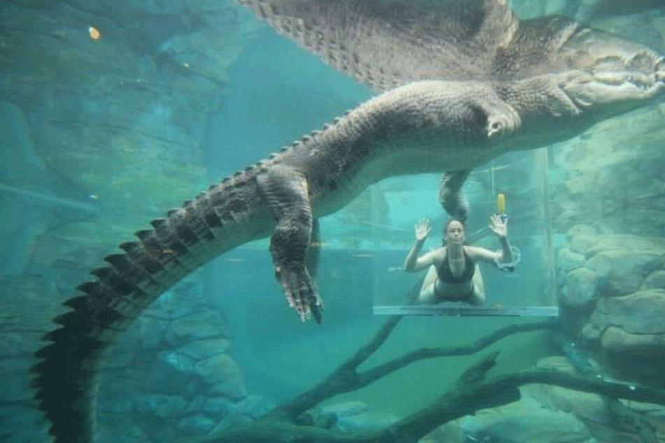 Wahnsinn! Menschen tauchen direkt neben Riesen-Krokodil
