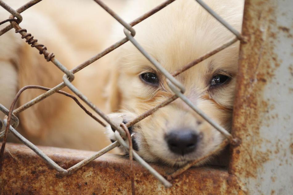 Illegaler Welpenhandel: So erkennt man skrupellose Hunde-Händler