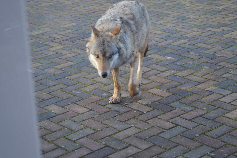 """Der Wolf """"Pumpak""""wurde zuletzt mehrfach in der Nähe von Menschen gesichtet."""