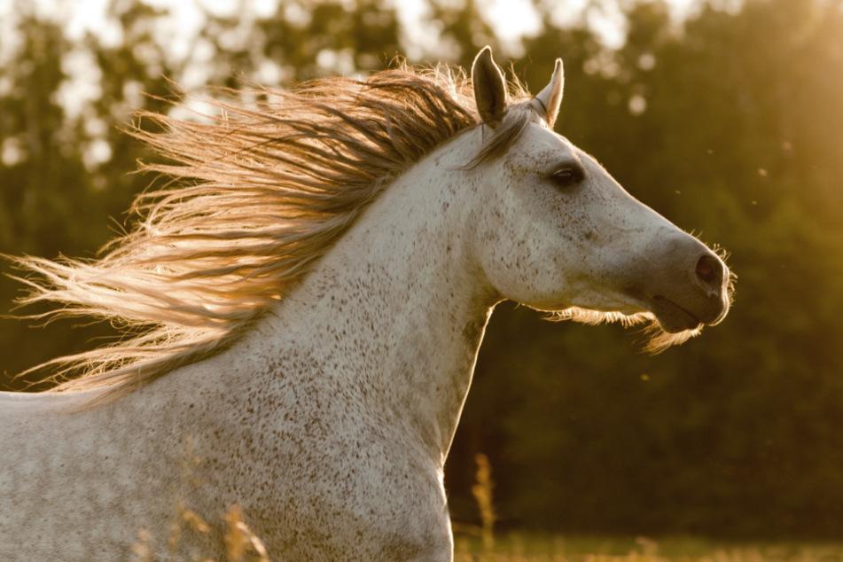 Pferde büxen aus und verursachen Chaos: Für ein Tier endet der Ausflug tödlich