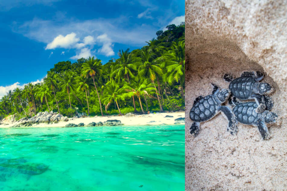 The beaches of Ko Samui are considered an ideal nesting place for sea turtles.