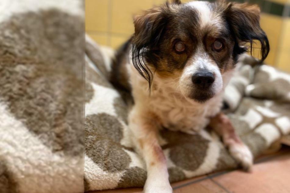 Süßer Senior sucht liebevolles Zuhause: Hund Bubble wartet schon zu lange