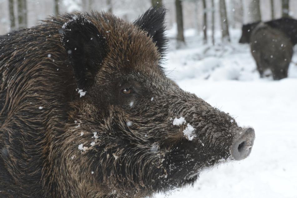 Wildschweine stehen in einem Wildgehege im Schnee.