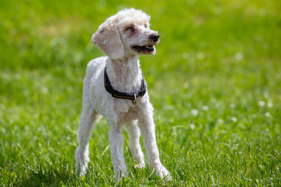 Frisch geschoren kann auch die kranke Haut der Hunde behandelt werden.