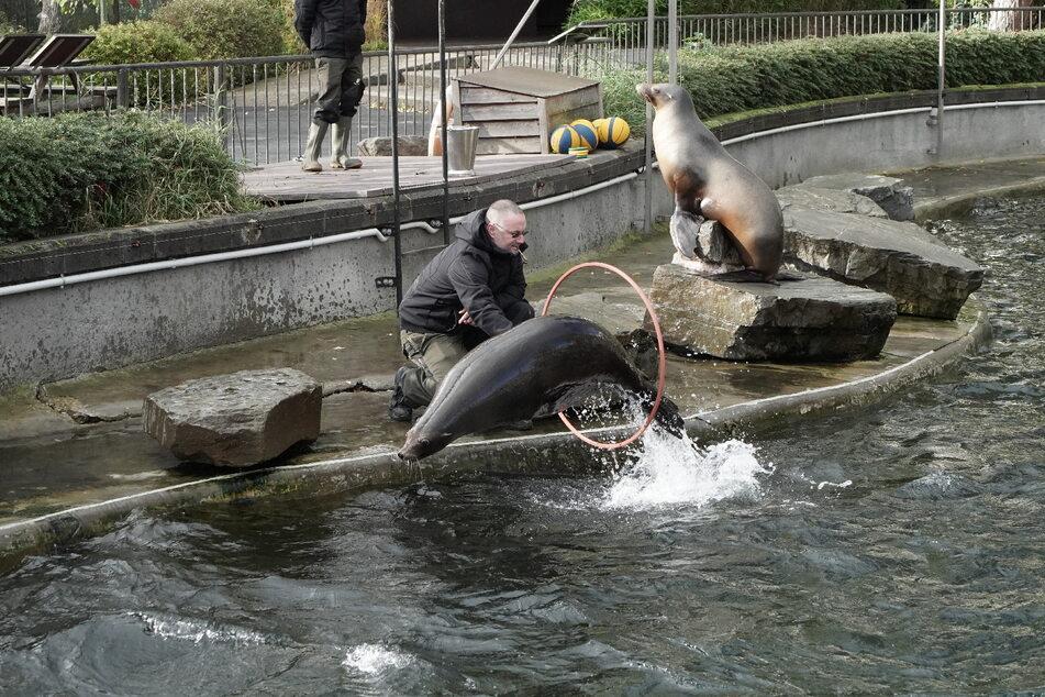 Tierpfleger halten die verspielten Seelöwen mit einem Beschäftigungsprogramm bei Laune.