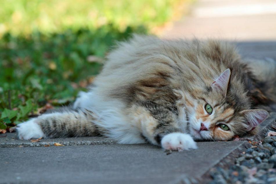 Eine norwegische Waldkatze liegt auf dem Boden. Betrunkene Männer hatten in Hermsdorf eine solche Katze entführt. (Symbolbild)