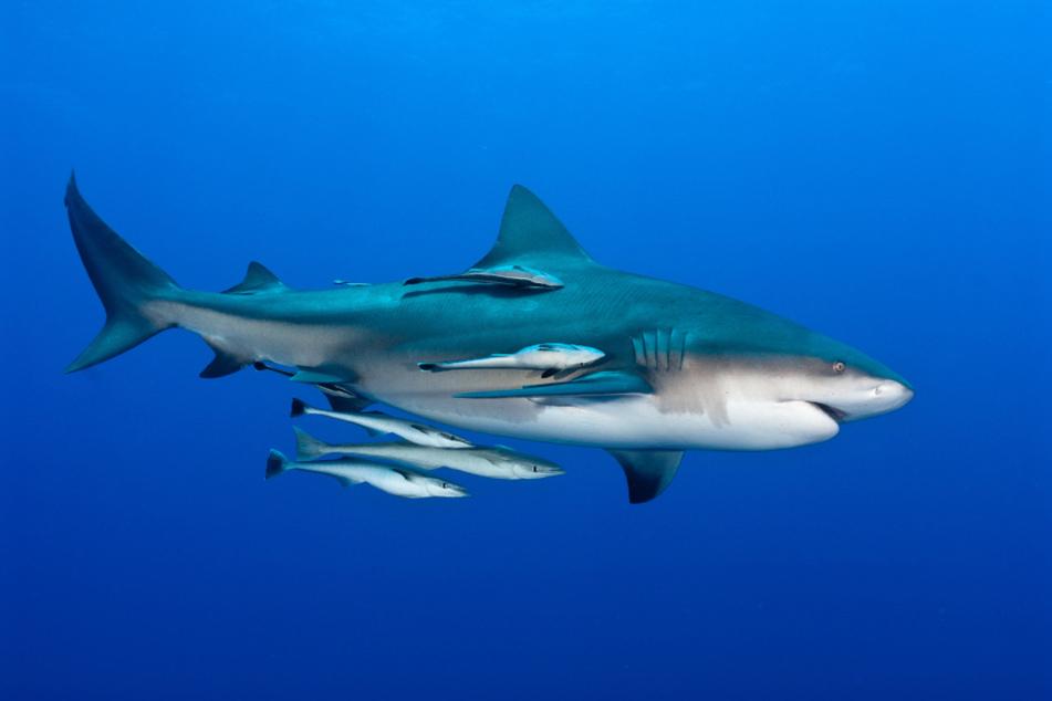 Zwei Schiffshalter (Echeneidae) haben sich an einen Hai angeheftet, um durch das Meer mitzureisen.
