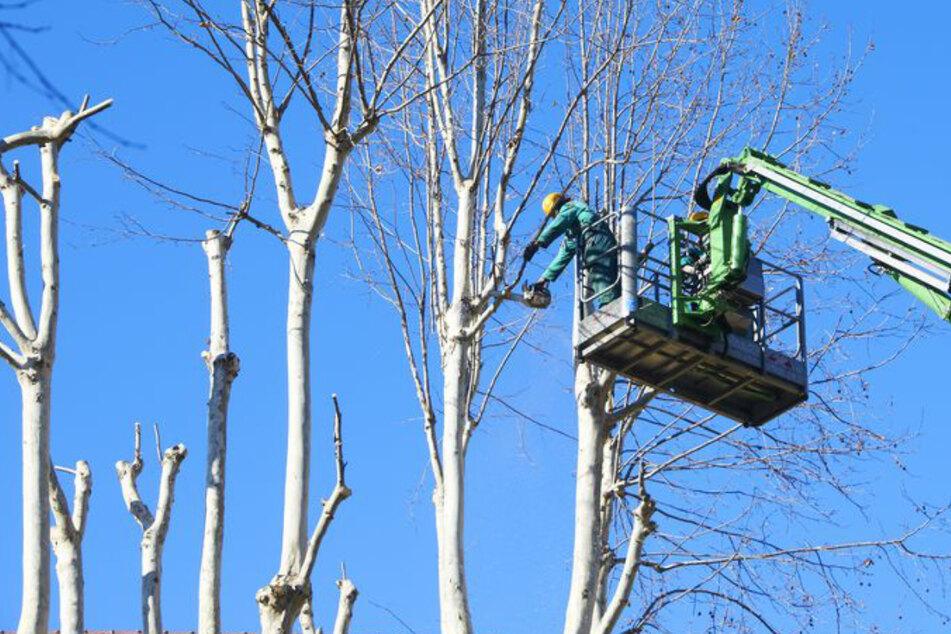 Männer stürzen bei Baumpflegearbeiten elf Meter in die Tiefe und verletzen sich schwer