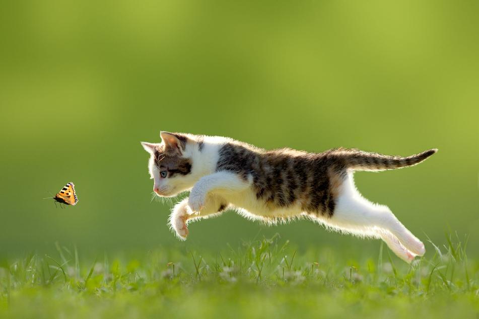 Bereits dieses junge Kitten trainiert ihre Sprungfertigkeit für die Jagd.