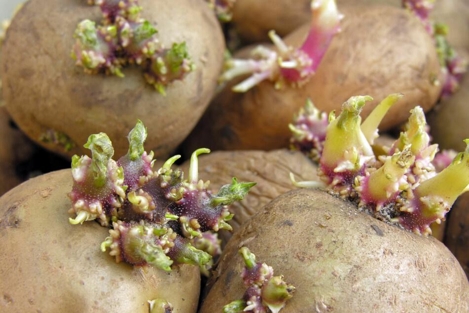 Bei falscher Lagerung keimen Kartoffeln schneller.
