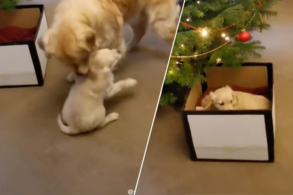 Best gift ever: golden retriever gets his own puppy for Christmas!