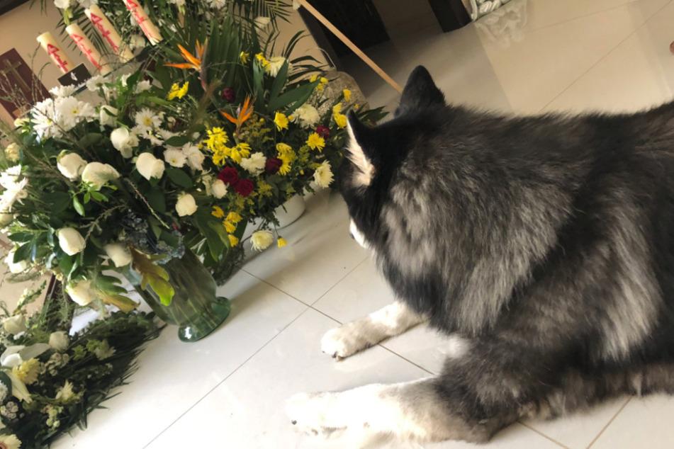 Tiefe Trauer: Jaulend und wimmernd weicht dieser Hund nicht von seinem toten Herrchen.