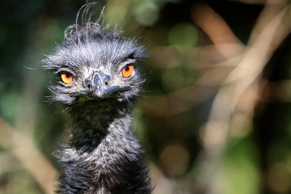 Emus sind bei Hotelbesitzer Chris Gimblett nicht mehr willkommen. (Symbolbild)