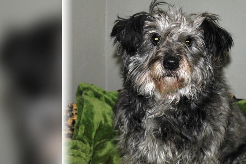 Aus Rumänien gerettet: Hunde-Seniorin Maya sehnt sich nach einem warmen Körbchen