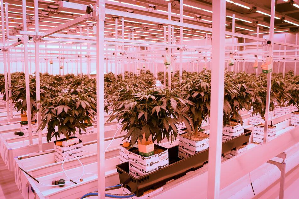 Cannabisplanzen stehen im Blühraum einer Produktionsanlage von Aphira für medizinisches Cannabis.
