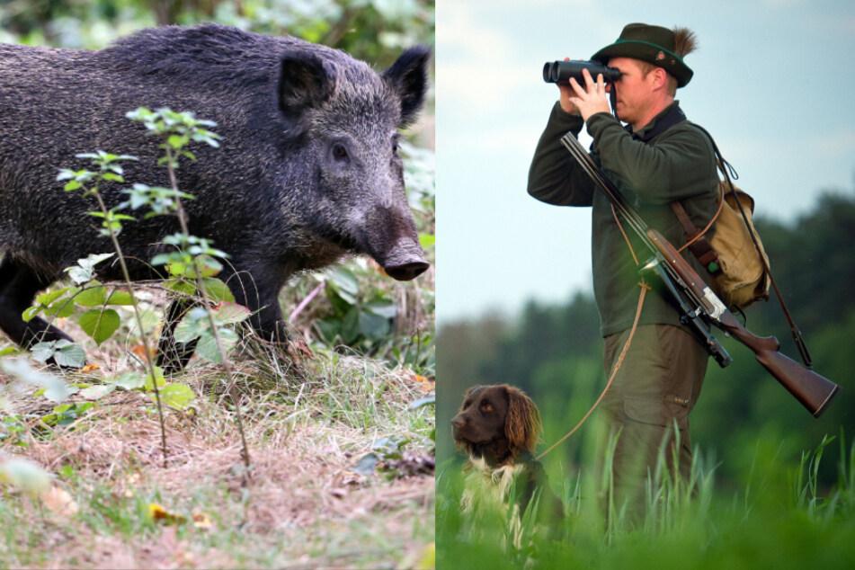 Mit Abschussprämie und Schutzzaun: So rüstet Sachsen gegen die Schweinepest